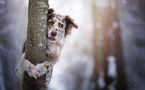 Картинка взгляд, дерево, собака, ствол, боке, Бордер-колли