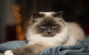 Картинка портрет, кошка, мордочка, кот