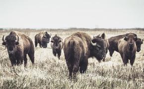 Обои бизоны, фон, природа