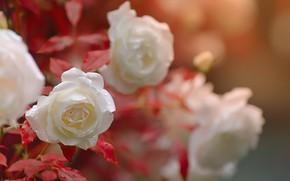 Картинка вода, капли, макро, цветы, розы, Katrin Suroleiska