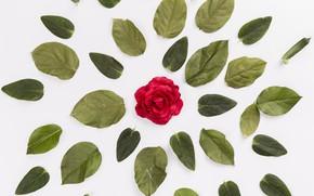 Картинка цветок, листья, фон, Роза