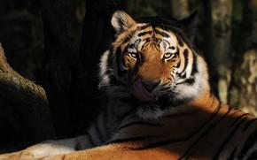 Обои язык, хищник, тигр, взгляд