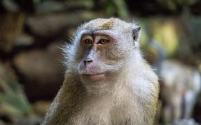 Картинка monkey, animal, portrait, mammal, close up, malaysia, batu cave