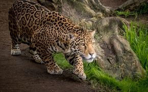Обои хищник, дикая кошка, ягуар