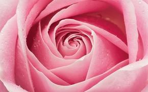 Обои роза, лепестки, розовый