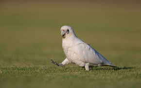 Картинка природа, птица, Попугай, травка