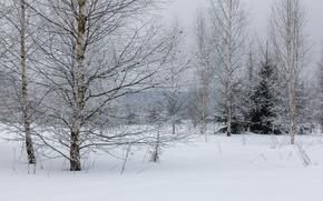 Картинка зима, иней, лес, снег, деревья, дерево, пасмурно, береза, опушка, зимний лес