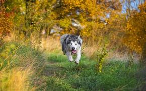 Обои маламут, пес, полет, бег