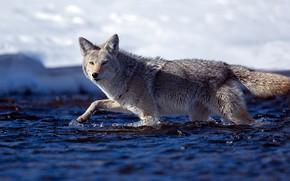 Картинка вода, солнце, природа, волк, хищник, боке, койот