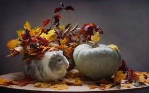 Картинка осень, животные, листья, октябрь, тыква, морская свинка, композиция