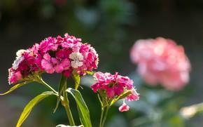 Картинка Боке, Pink flowers, Boke, Розовые цветы