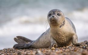 Обои тюлень, фон, природа