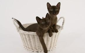 Картинка корзина, котята, порода, бирманская