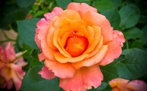 Картинка макро, роза, лепестки