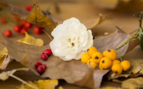 Картинка Цветок, Осень, Листья, Fall, Autumn, Leaves, Белая роза, White rose