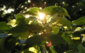 Картинка лето, солнце, макро, закат, дерево, липа