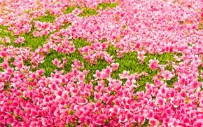 Картинка цветы, flowers, фон, pink, blossom, grass, лужайка, розовые, трава, бутоны
