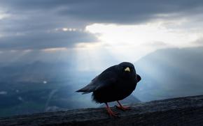 Обои природа, Альпийская галка, птица