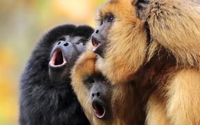 Картинка обезьяны, трио, хор, троица, Чёрный ревун
