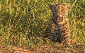 Картинка трава, хищник, Ягуар, дикая кошка