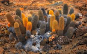 Картинка пустыня, растение, кактус