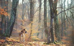 Обои лес, деревья, друг, собака