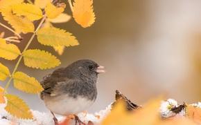 Картинка осень, листья, птица, серый юнко