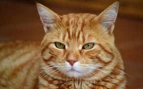 Картинка кот, взгляд, морда, фон, портрет, рыжий, полосатый, зеленоглазый, важный