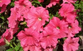 Картинка цветы, розовая, куст, петуния, Mamala ©