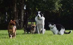Картинка зелень, собаки, лето, трава, деревья, кошки, парк, лужайка, домашние животные, Чихуахуа, Бордер-колли