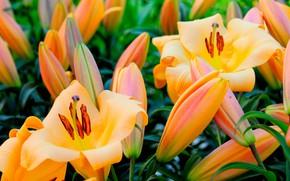 Обои цветение, лилии, много, цветы