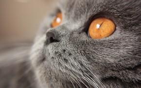 Картинка Взгляд, Кошка, Cat, Macro