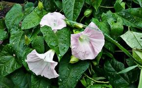 Картинка зелень, листья, нежность, бутоны, розовые цветы, капли дождя, вьюнки