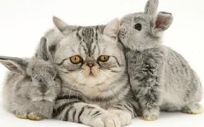 Картинка котенок, кролики, серые