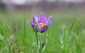 Картинка цветок, макро, травка, сон трава