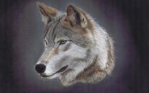 Картинка волк, портрет, хищник