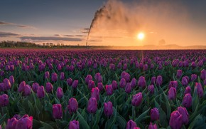 Картинка поле, небо, солнце, пейзаж, цветы, природа, утро, тюльпаны, полив
