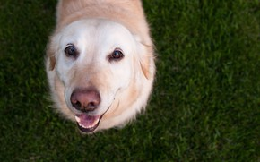Обои собака, взгляд, глаза, дружок