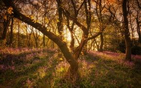 Картинка лес, деревья, Англия, колокольчики
