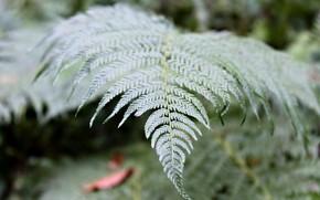 Картинка растения, папоротник, природа nature, лес Wildflowers