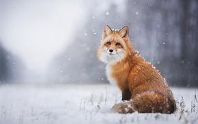 Обои зима, снег, лиса, лис