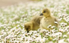 Картинка цветы, природа, малыши, полянка, гуси