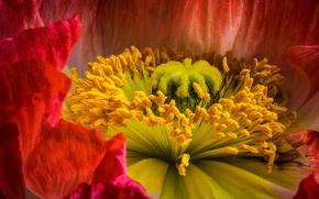 Картинка цветок, макро, цветы, крупный план, красный, мак, тычинки, пестик, внутри цветка