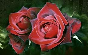 Картинка обои, розы, красота, авторское фото Елена Аникина