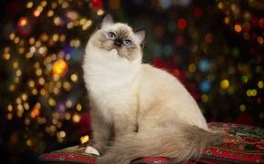 Обои кошка, портрет, подушки, красавица, голубые глаза, боке, Рэгдолл