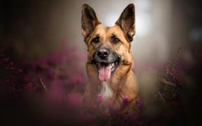 Картинка язык, взгляд, морда, портрет, собака, боке, вереск, Немецкая овчарка