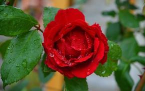 Картинка Капли, Red rose, Drops, Красная роза