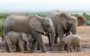 Картинка young, elephants, herd