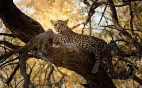 Картинка хищник, леопард, детёныш, дикая кошка, на дереве
