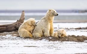 Картинка снег, природа, медведи